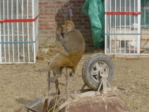 Monkey on Wheelbarrow